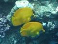 303-butterflyfish